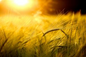 BARLEY FIELD IN GOLDEN GLOW © Zlikovec | Dreamstime.com